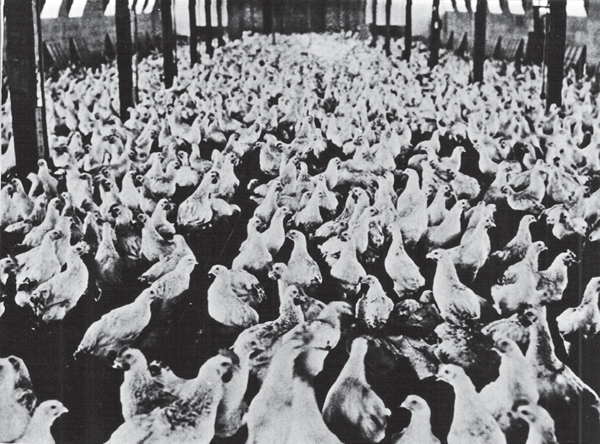 Reprinted from An Ozark Culinary History by Erin Rowe courtesy of the Rogers Historical Museum (pg. 83, The History Press, 2017). While farming is often thought of in terms of plant crops, the US is also a leader in poultry and meat farming. Meat and poultry have been prominently featured in the American consciousness: from KFC and In 'n' Out burgers, to Texas BBQ and the meat-and-potatoes culture of the Heartland and the Midwest. Today, the US is the number one world producer of beef, and is also a world leader in terms of pork and poultry production. The reason for this dates back to the original settlers of North America – hogs were first brought to the area by Christopher Columbus in 1493 at the insistence of Queen Isabella of Spain (as they were not found during Columbus' first voyage to the New World), while cattle were brought by Irish and Scottish immigrants. Poultry was introduced by settlers of Jamestown, Virginia in the early 17th century. These animals flourished in different areas of the country: Cows were better suited to the plains of the Heartland and Texas, where cattle ranching remains a large part of several states' economies. While cattle were not well suited to the unforgiving terrain of Appalachia, pigs and chicken thrived in areas like Kentucky, where they were able to forage successfully for food. Pigs and poultry also did well in the Midwest, where several states are now amongst the top ten for pork production nationwide. Meats like poultry and pork fared better in the poorer communities of Appalachia and the Midwest because of their affordability. Only the poorest families could not afford to keep a chicken at home. For those that could, if money became tight later on, a chicken could be butchered to feed the family. In addition, keeping chickens resulted in eggs, which were a significant means of both food and trade. This history of pork and poultry is reflected today: In the Ozarks, chicken is king, as the headquarters of Tyson Foods is located in Arkansas, while Iowa serves as the nation's top pork producer. Wine